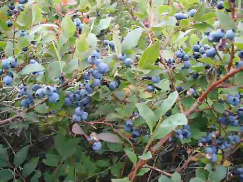bluberries on trail
