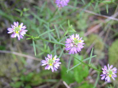 Curtiss' Milkwort
